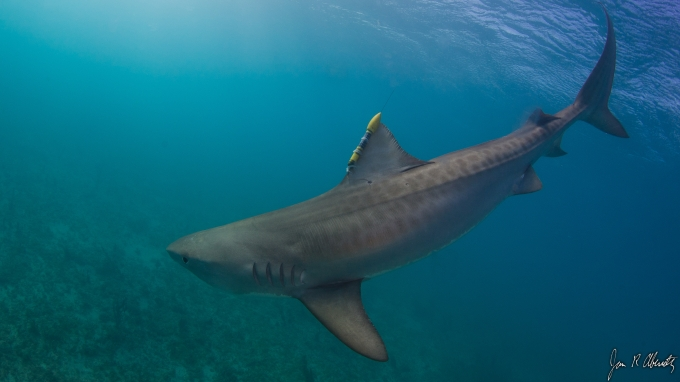 Tiger Shark with SeaTag